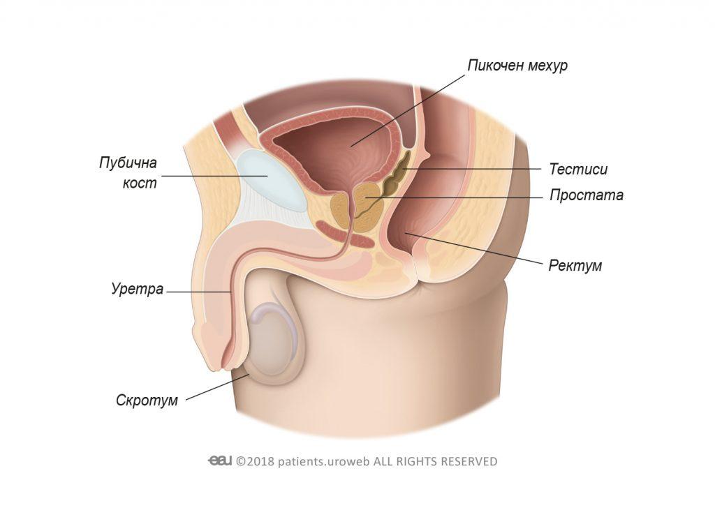 Фиг. 1a: Здрава простата в долната част на пикочните пътища.