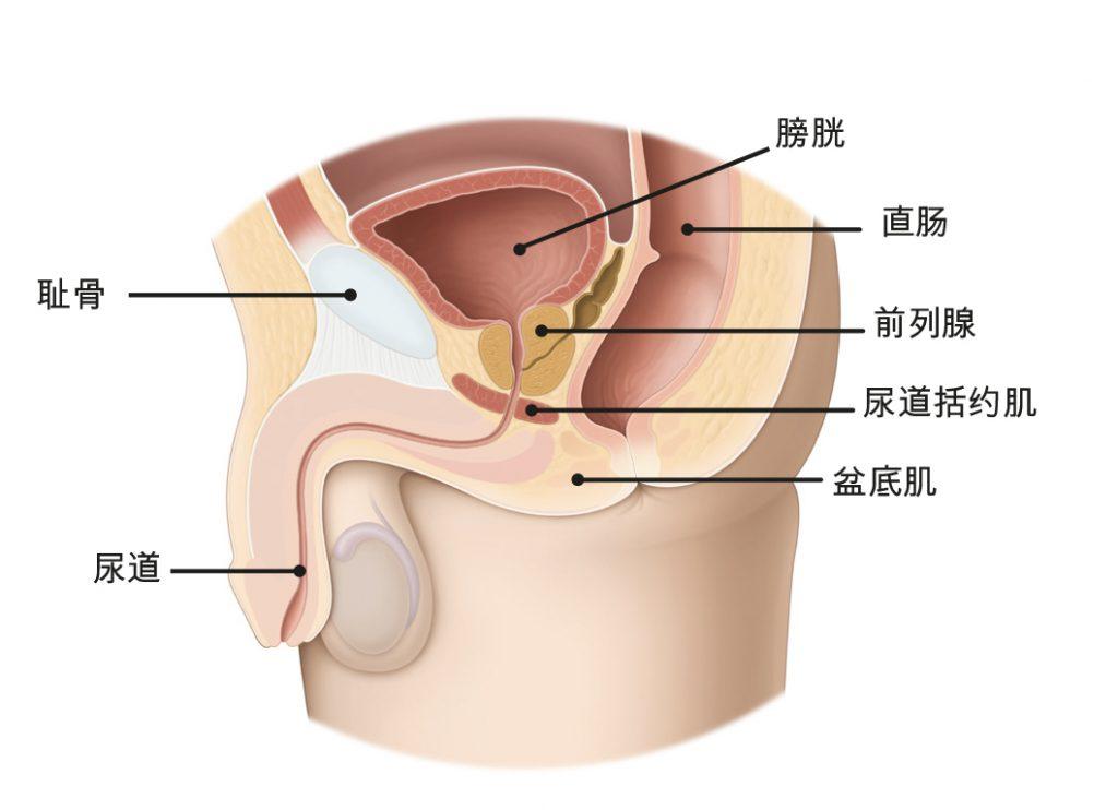 图1a:女性盆底肌