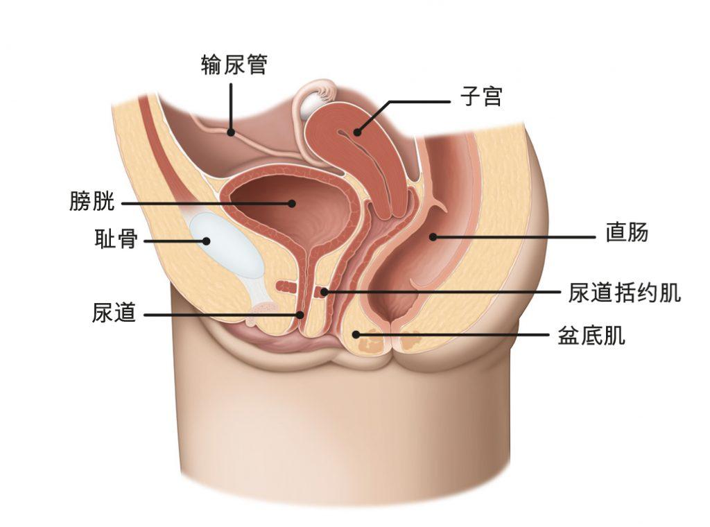 图1b:男性盆底肌。
