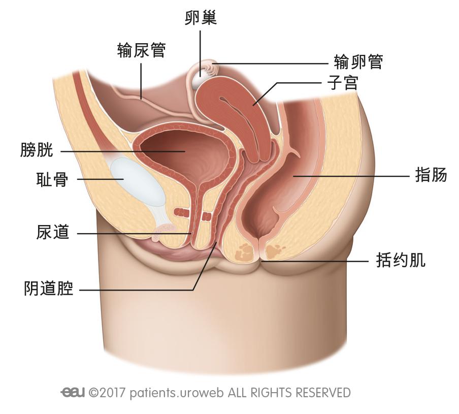 和女性下尿路(b)。