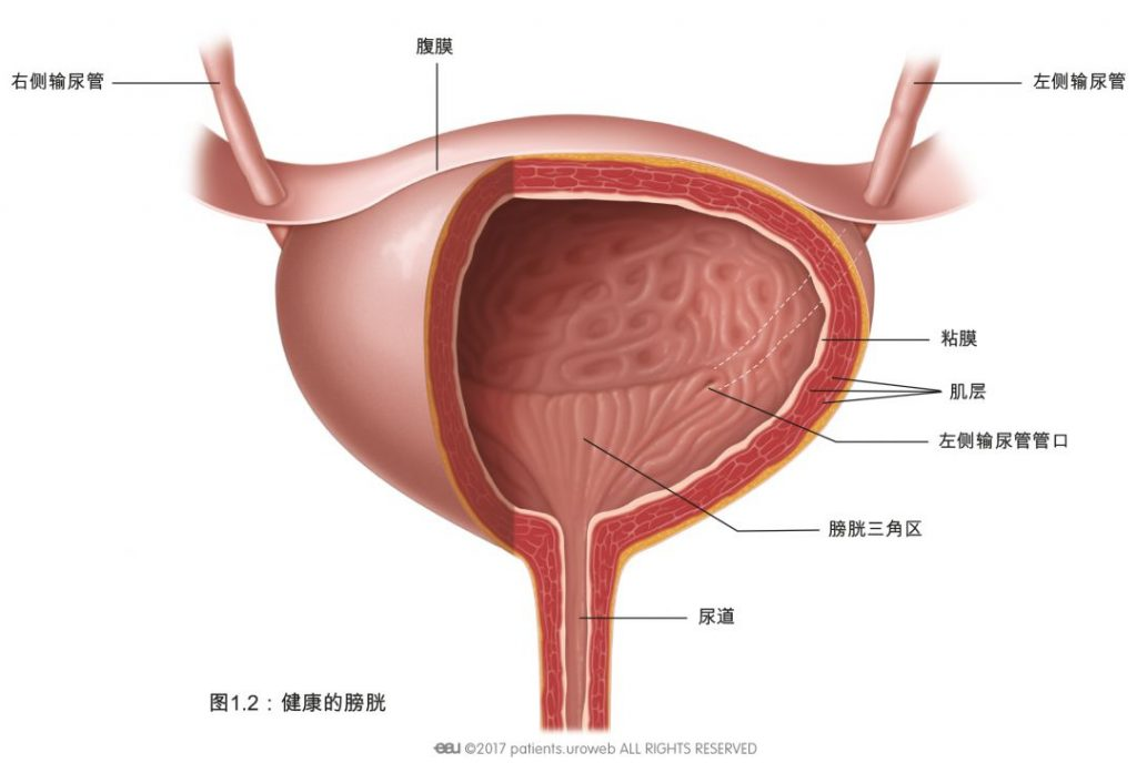 图2: 健康的膀胱。