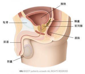 图1a:位于下尿路中的健康前列腺。