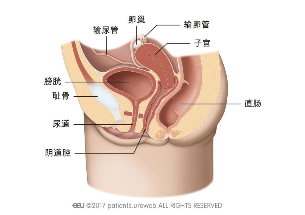 图 1b:女性下尿路。