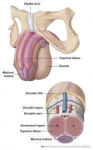 Obr. 1: Anatomie penisu.
