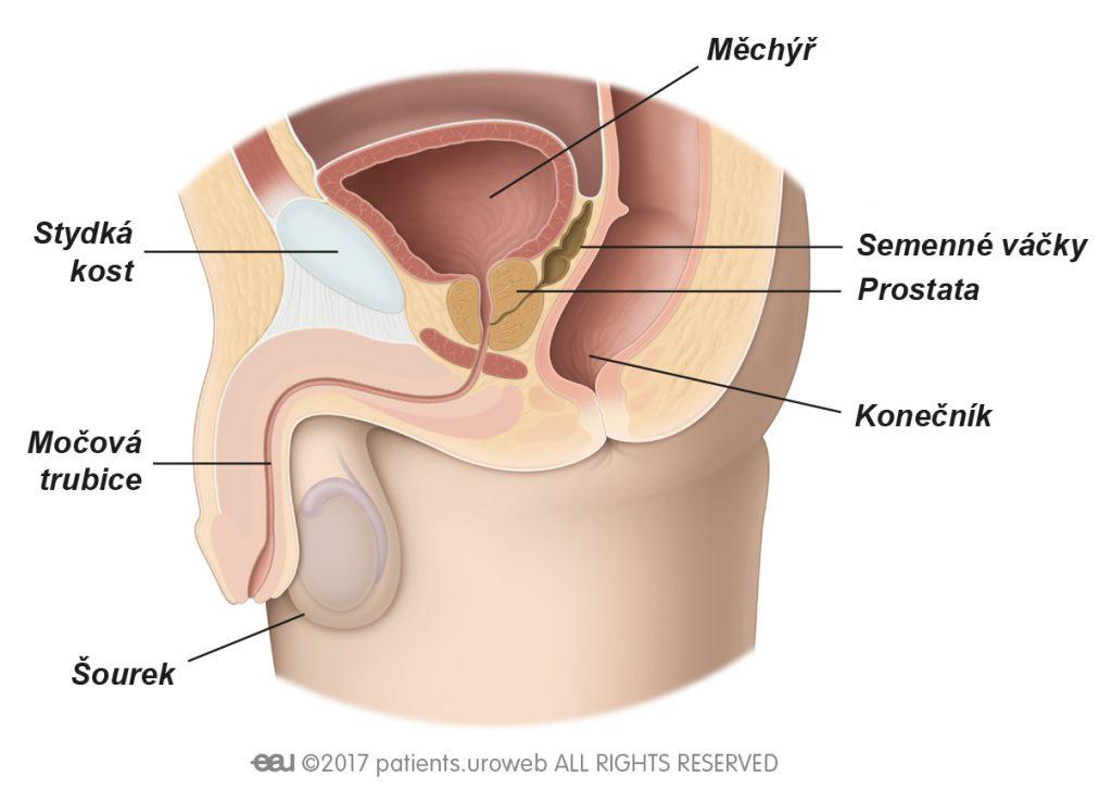 Obr.1: Zdravá prostata a dolní močový takt.