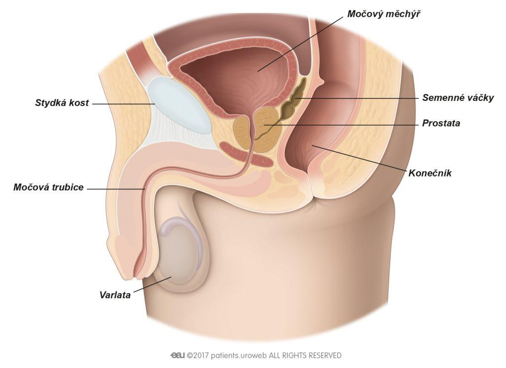 Obr.1 Zdravá prostata v dolní části močových cest.
