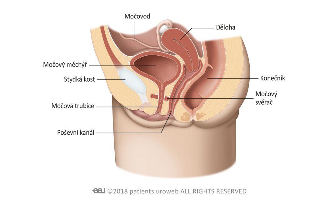 Obr. 1b: Dolní močové cesty u ženy.