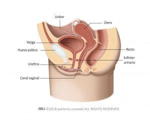Fig. 1b: Tracto urinario de la mujer.