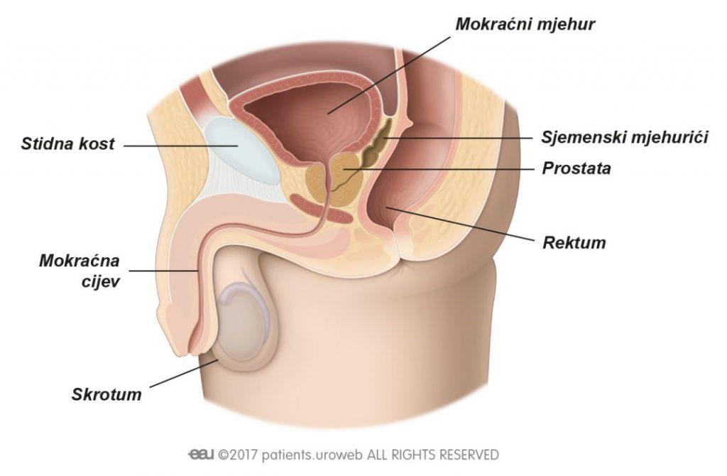Slika 1: Zdrava prostata u donjem dijelu mokraćnog sustava.