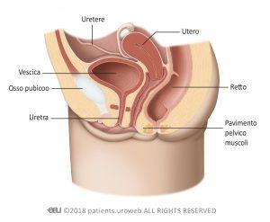 Fig. 1b: Il tratto urinario inferiore femminile.