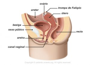 Fig. 1b: Trato urinário inferior feminino.