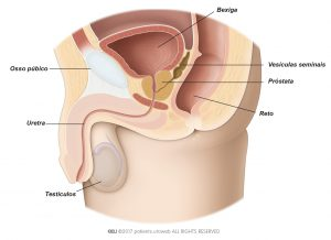 Fig. 1: A healthy prostate in the lower urinary tract.