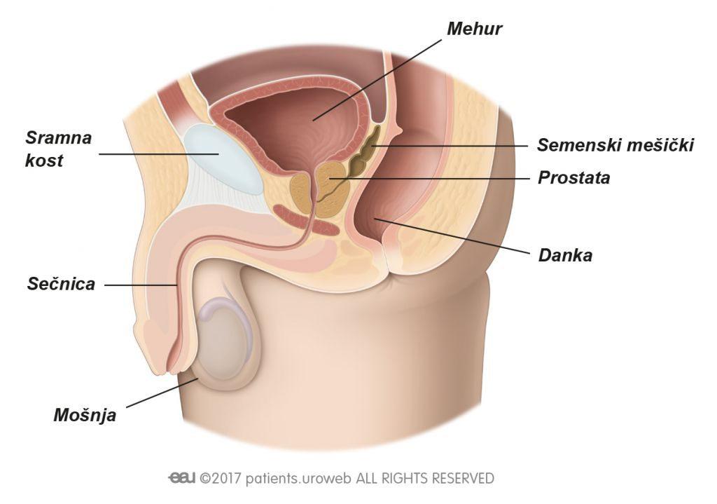 Slika 1a: Zdrava prostata v spodnjem urinarnem traktu.