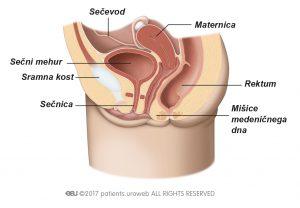 Sl. 1b: Mišice medeničnega dna pri moškem.
