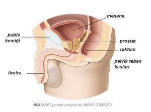 Şekil 1b: Erkeklerde pelvik taban kasların