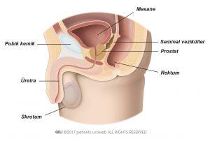 Şek. 1: Alt üriner sistemde normal prostat.