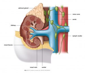 Fig. 1: A kidney and its surrounding tissue, veins, and arteries.