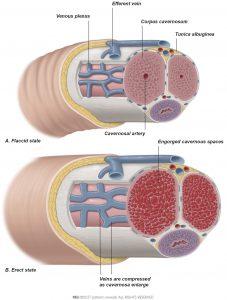 Fig. 1: a) Flaccid penis b) Erect penis.